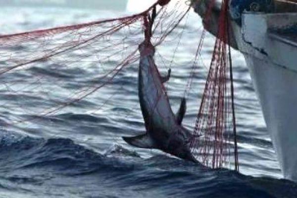 pesce-spada-rete15E4F758-0344-F259-3C38-71F50B9081A4.jpg